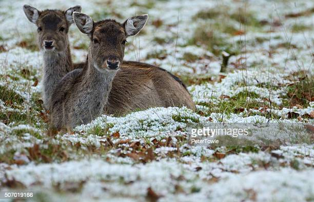 Young deer laying in snow