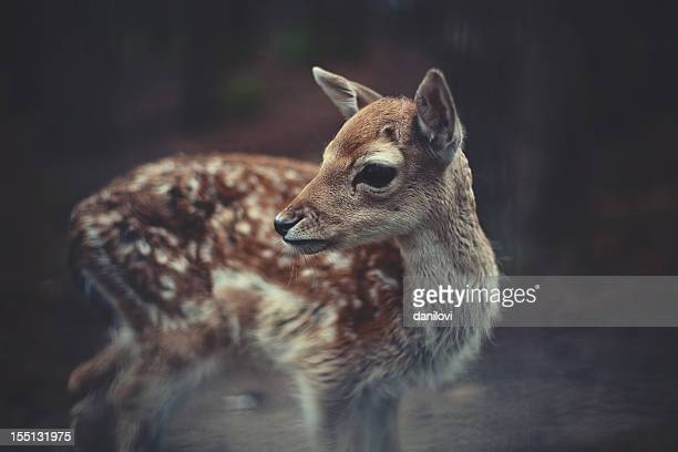 young deer - fawn stock photos and pictures