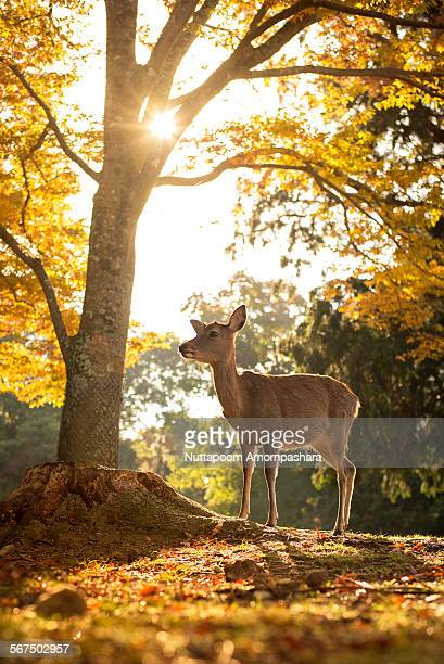 Young deer with autumn leave