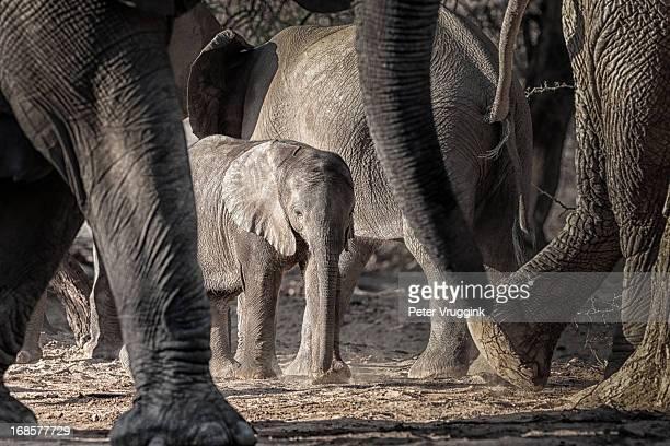 Young Desert Elephant