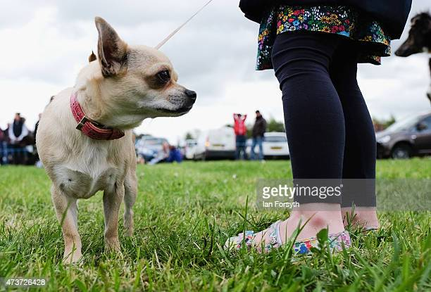 A young dog owner stands with her dog during a best of breed competition at the Pickering Game and Country fair on May 17 2015 in Pickering England...