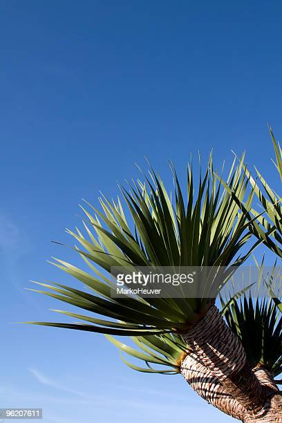 Junge Dragon Tree in La Palma