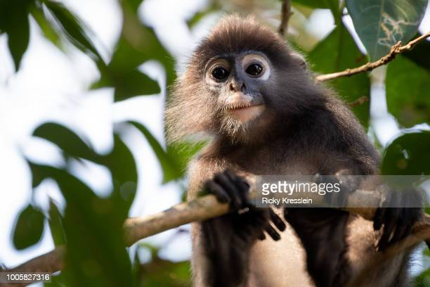 Young Dusky Leaf Monkey Looks Down From Trees