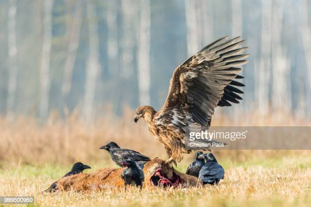 young eagle (haliaeetus albicilla), with ravens (corvus corax) on dead deer, masuria, poland - dead raven stock photos and pictures