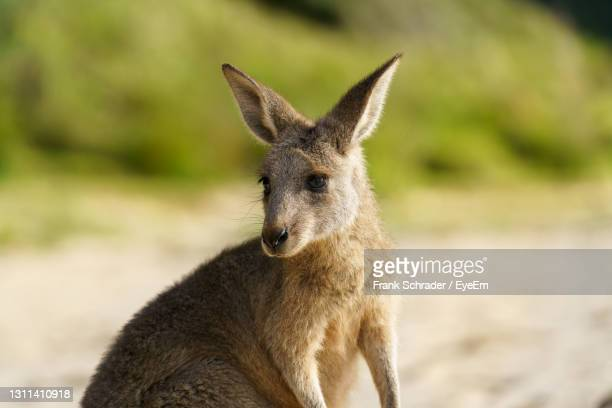 young eastern grey kangaroo looking cute - frank schrader stock pictures, royalty-free photos & images