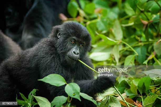 young Eastern Lowland Gorilla in Congo is feeding, wildlife shot