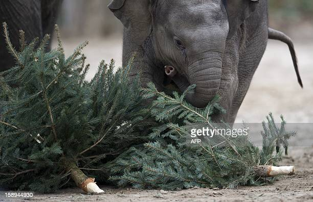 Young elephant Anchali plays with a Christmas tree on January 4 2013 at the Zoologischer Garten zoo in Berlin Traditionally elephants at the Berlin...