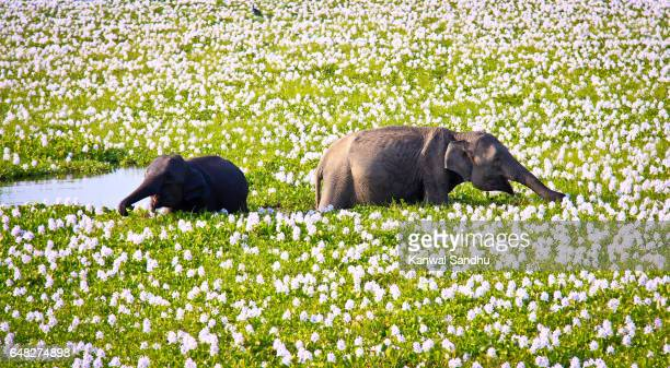 a young elephant calf playing with his mother in a water lake - sri lanka stock pictures, royalty-free photos & images