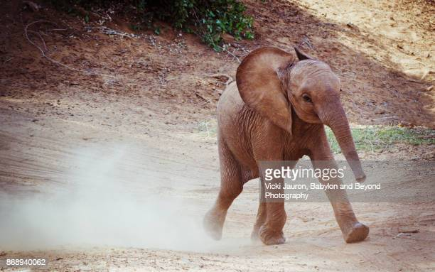 young elephant calf running down hill in samburu, kenya - baby elephant stock photos and pictures