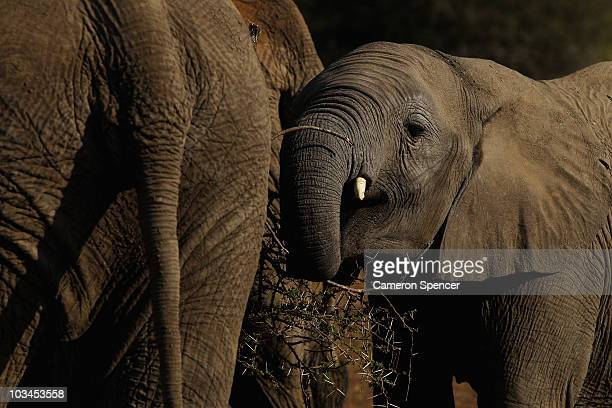 A young elephant eats branches at the Mashatu game reserve on July 26 2010 in Mapungubwe Botswana Mashatu is a 46000 hectare reserve located in...