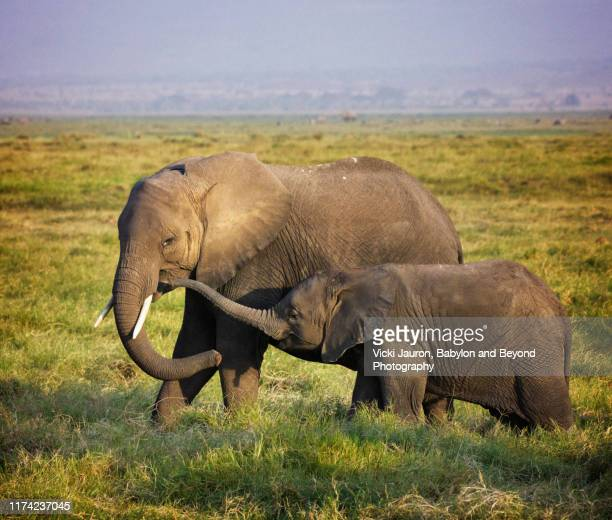 young elephant giving mom a kiss with his trunk at amboseli, kenya - animal nose stock pictures, royalty-free photos & images