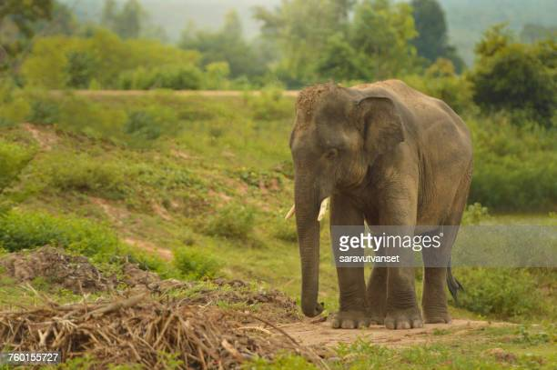 Young elephant in rural landscape, Thailand
