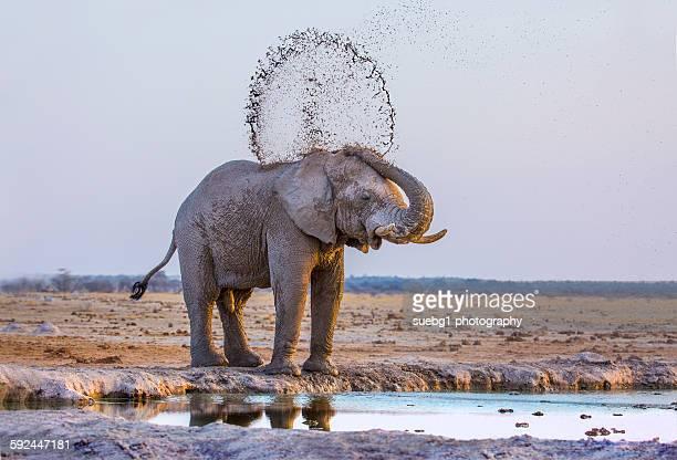 Young elephant mud bathing