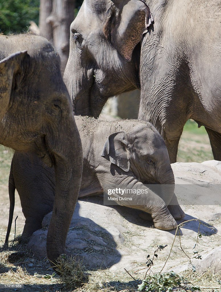 A young elephant, named Sita, lies on the stone during sunny day at Prague Zoo on July 21, 2013 in Prague, Czech Republic. This week was one of the driest weeks since 1951, according to Czech meteorologists.