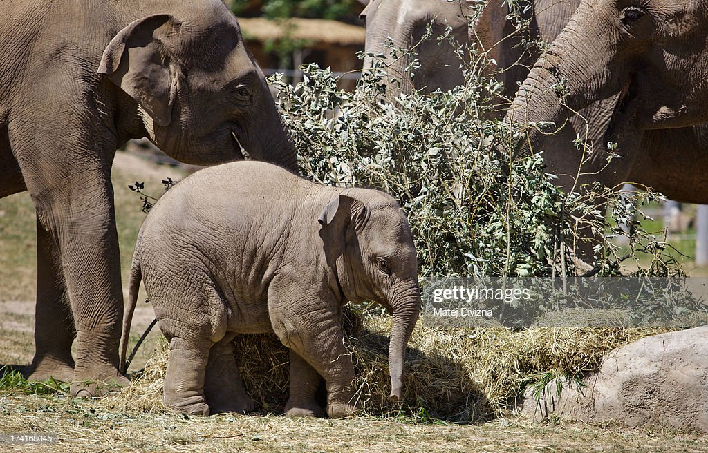 A young elephant, named Sita (C), plays with hay during sunny day at Prague Zoo on July 21, 2013 in Prague, Czech Republic. This week was one of the driest weeks since 1951, according to Czech meteorologists.