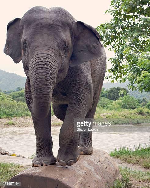 young elephant - einzelnes tier stock-fotos und bilder