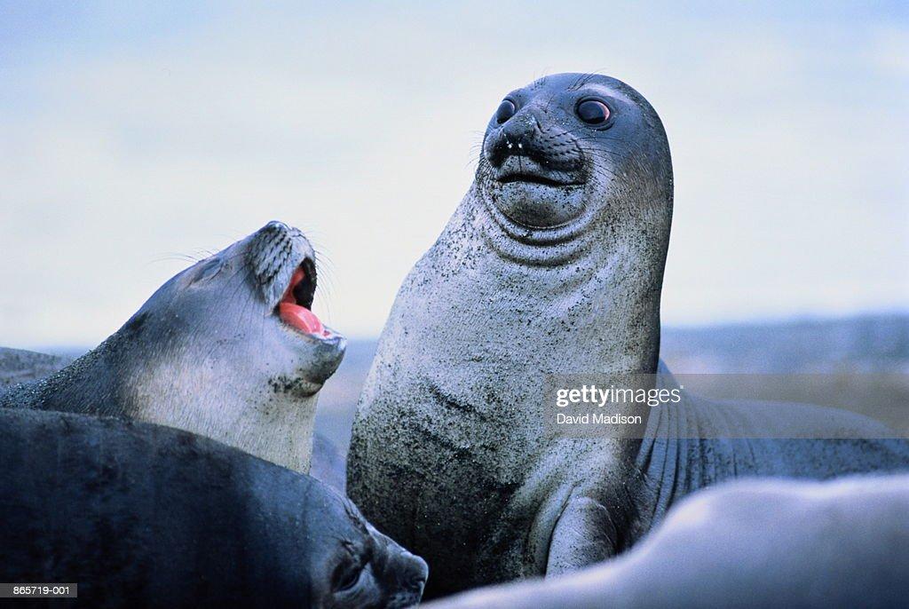 Young elephant seals (Mirounga leonina)Antarctica : Stockfoto