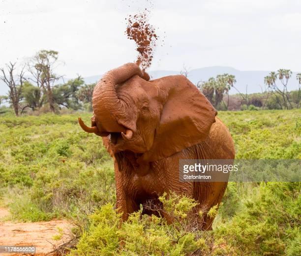 若い象は泥を吹き付ける - 動物の親子 ストックフォトと画像