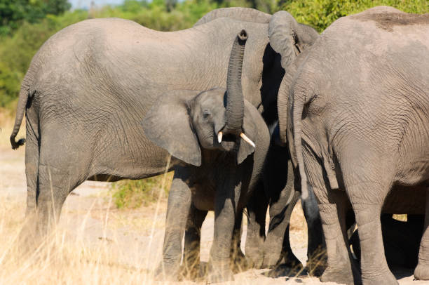 Young elephant taking scent, Chobe National Park