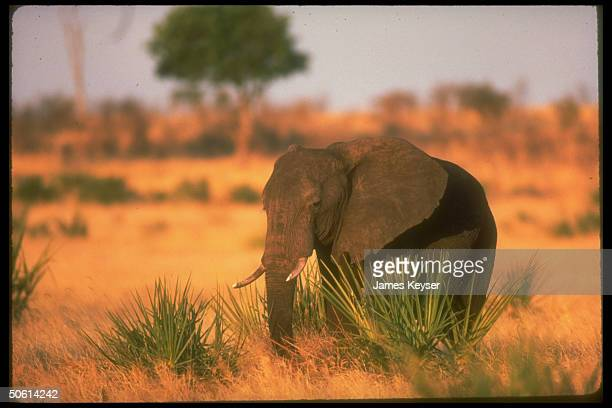 Young elephant w. Small tusks in Meru Game Park.