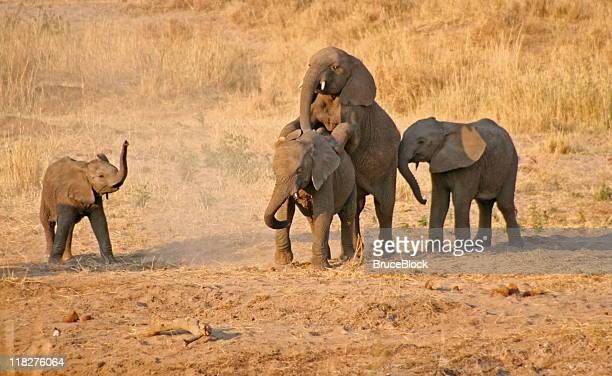 Young Elephants having some fun