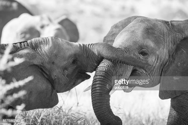 young elephants playing - elephant face stock photos and pictures