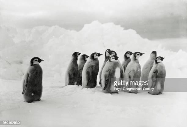 Young Emperor penguins Antarctica 1914 Imperial TransAntarctic Expedition 19141916