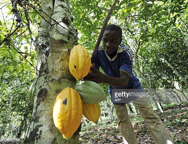 A young employee harvests beans from a cocoa tree in Amichiakro in a cocoa plantation in Divo on October 25 2010 ahead of the October 31 presidential...