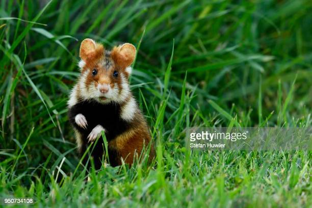 young european hamster (cricetus cricetus), sitting upright in a meadow, austria - hamster stock-fotos und bilder