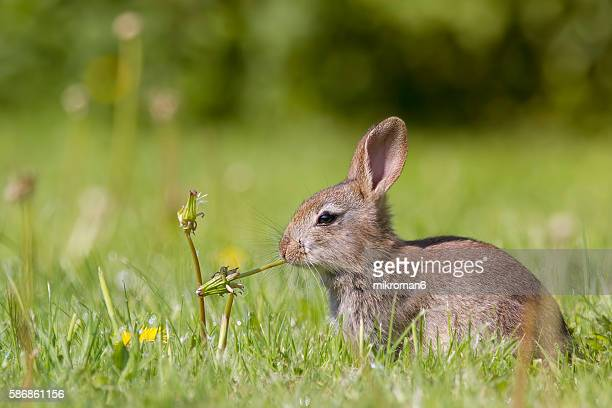 Young European rabbit (Oryctolagus cuniculus) hiding in the grass, Europe