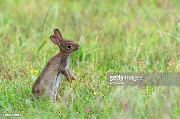 young european rabbit - hare stock pictures, royalty-free photos & images