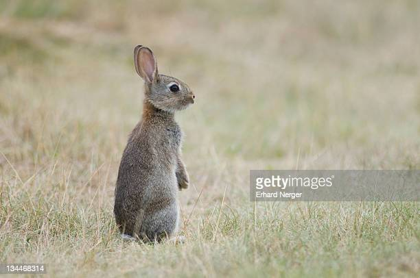 young european rabbit (oryctolagus cuniculus) - vista lateral stock pictures, royalty-free photos & images