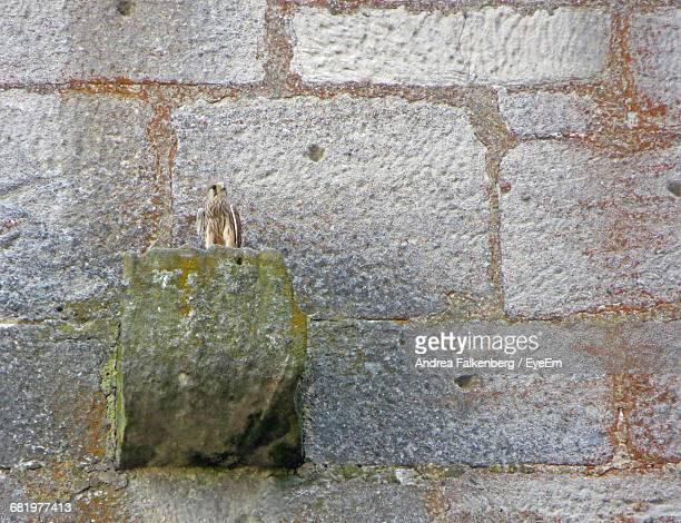 young falcon perching on stone wall - day old chicks stock photos and pictures