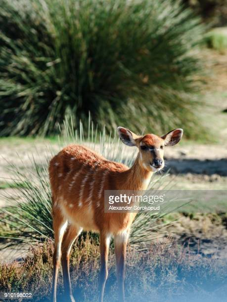 Young fallow deer in safari park, Sigean, sunny day, France