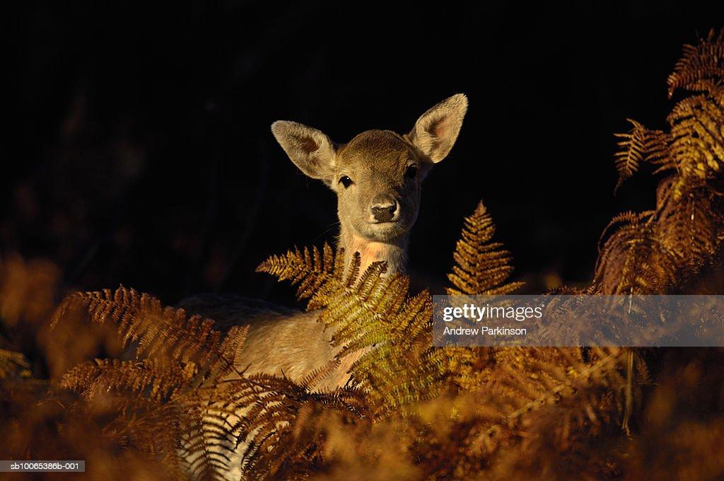 Young fallow deer looking over bracken : Foto stock