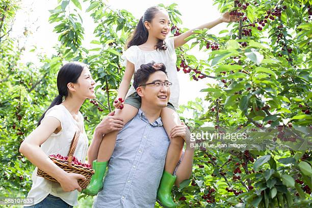 Young family picking cherries in orchard