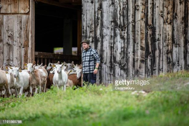 young farm worker herding the goats out from the barn - stock photo - shepherd stock pictures, royalty-free photos & images
