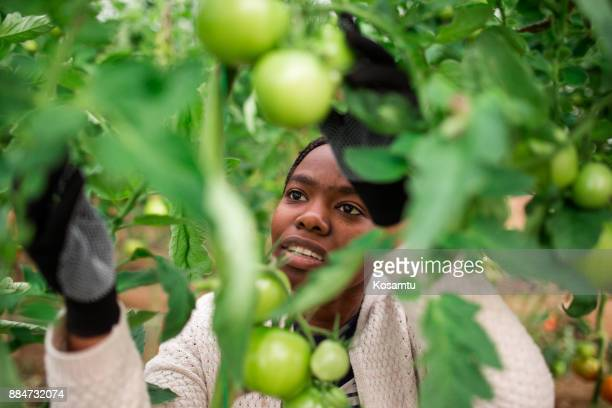 Young Farm Worker Picking Fresh Tomatoes