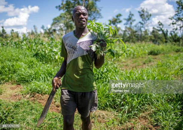 A young farmer at harvest in Kakamega County In his hand he holds a machete on May 16 2017 in Kakamega County Kenya