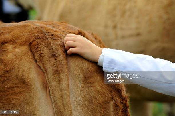 Young farmer at show sctrathing tail of a Limousin cow to keep it calm