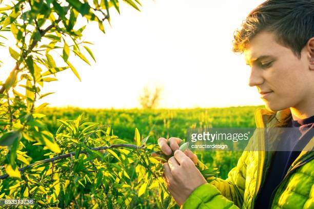 Young farmer checking new almonds