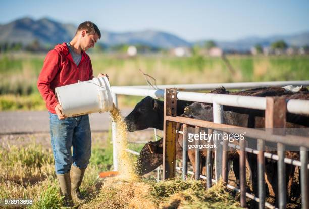 young farmer feeding cattle - feeding stock pictures, royalty-free photos & images