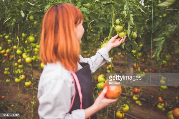 Chica joven agricultor recogiendo tomates frescos