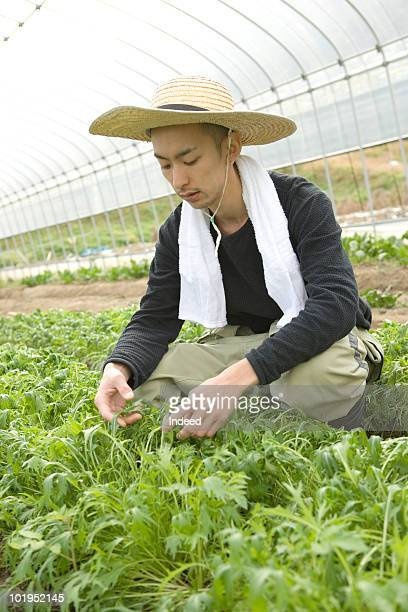 Young farmer harvesting in a plastic greenhouse