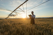 Young farmer or agronomist standing in wheat field beneath irrigation system and using a tablet