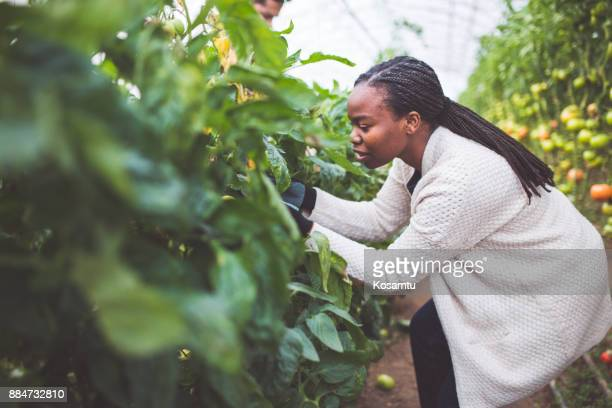 Young Farmer Picking Fresh Tomatoes