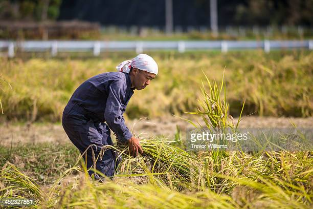 A young farmer picking up cut rice stalks