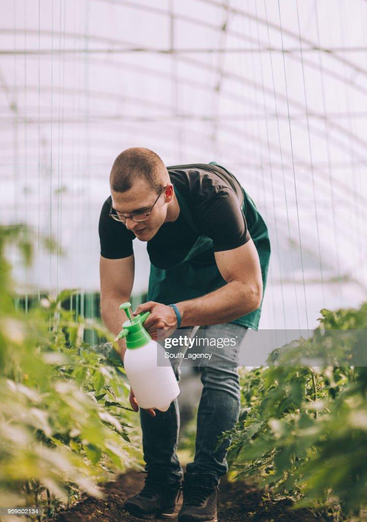 Junglandwirt Besprühen der Pflanzen im Gewächshaus : Stock-Foto
