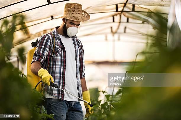 Young farmer spraying plants in polyethylene tunnel.