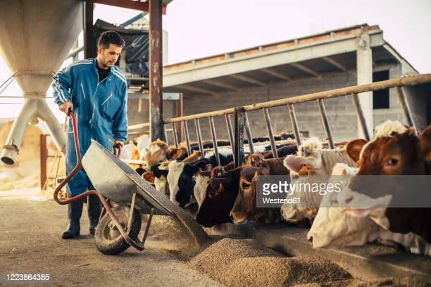 young farmer wearing blue overall while feeding the calves on his farm - animal doméstico fotografías e imágenes de stock